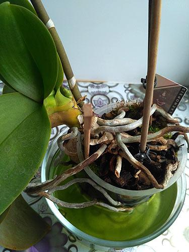 Корни орхидеи. Полив орхидеи