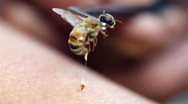 Пчела - старое забытое средство от укуса пчелы