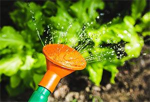 Полив растений раствором с перекисью водорода