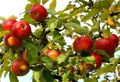 Яблоки - полезно для печени